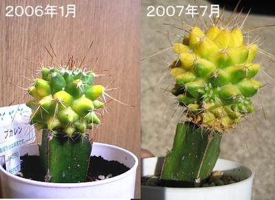 ブカレンの成長