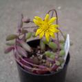 ルビーさん開花
