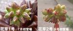 古紫花芽、現在。