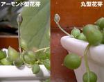花芽一応2種