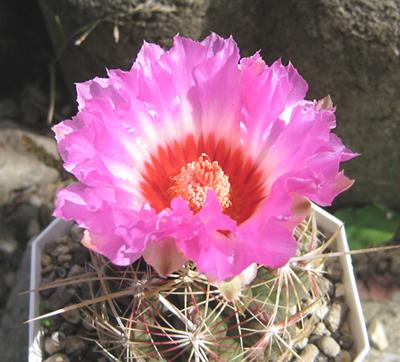 テロカクタス、再び開花。