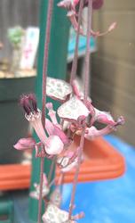 レディーハートも咲いています。