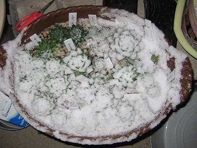 センペル畑に雪が降る