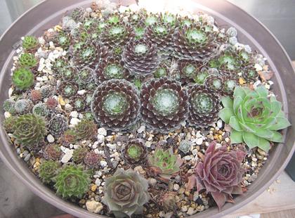 センペル鉢2