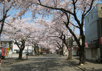 桜並木満開