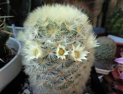 08年7月白花カルメナエ