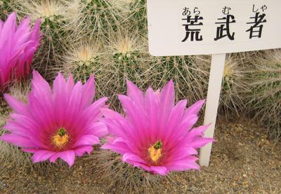 荒武者のお花