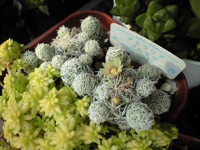 銀手毬開花