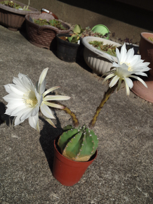 刺なしプシス開花