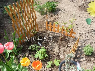 2010年5月の植えたてベリー